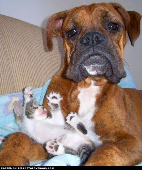 Boxer and kitten...... Mommy what is this thing and what am I supposed to do with it?? ✨