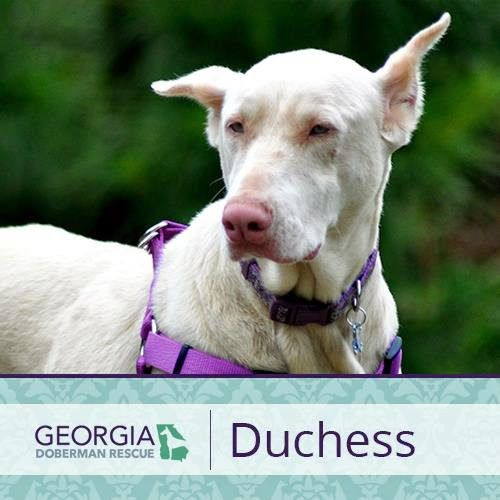 This is Duchess. She's a cropped and docked albino female who has been in rescue for over a year. She was originally with Southern Doberman Rescue, after somebody saw her for sale on Craigslist as a breeding female. They got her from that person, and then turned her into rescue to be spayed and rehomed. Then she made her way to Georgia Doberman Rescue.  Duchess was born on September 5, 2008 and is spayed, microchipped, and up to date on her shots.