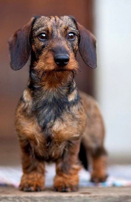 Wirehaired Wire Haired Dachshund Doxie | Cute puppy and dog
