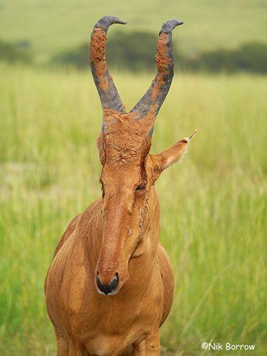 Lelwel Hartebeest, Uganda