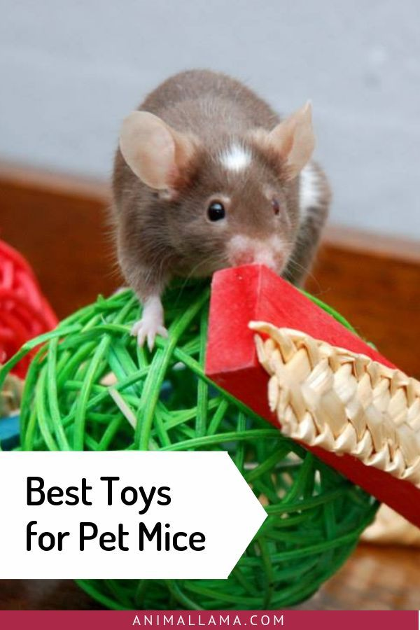 Best Toys For Pet Mice Our Picks To Keep Mice Entertained Animallama Pet Mice Pet Supplies Plus Fancy Mouse