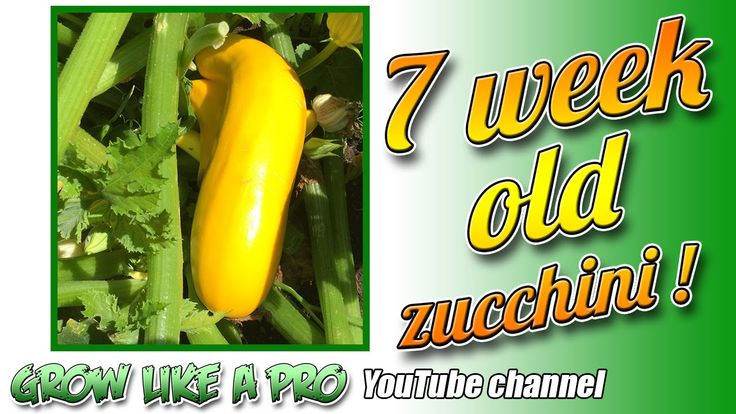 7 Week Old Zucchini Plants