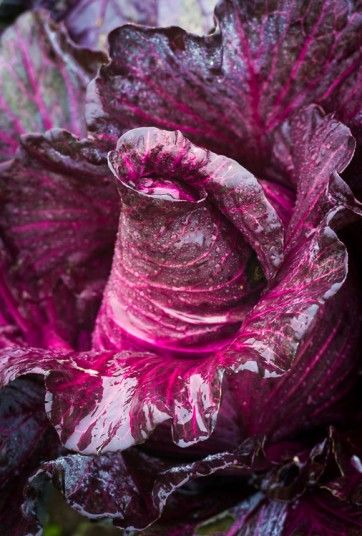 Food Photographer of the Year winners 2014 Food in the Field Manuela Ruther (Germany) – Blue Sweetheart Cabbage