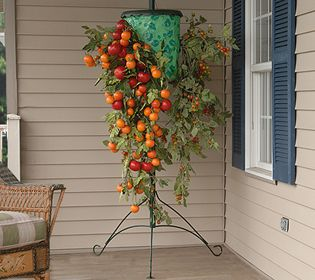 Upside down tomatoes!