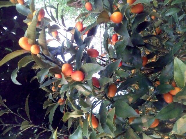 Mandarin japonez