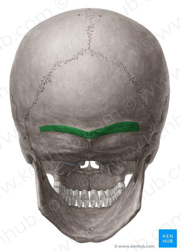 Superior nuchal line (Linea nuchalis superior); Image ...