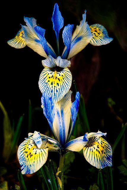 ~~Minature Irises by berenice29~~