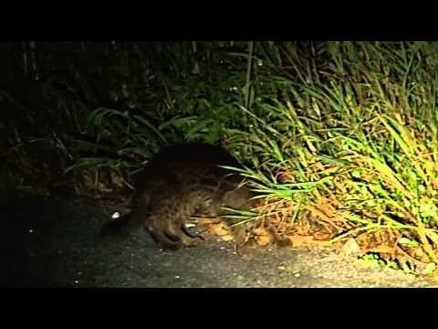 Iriomote Wild Cat / イリオモテヤマネコ 20140718 - YouTube