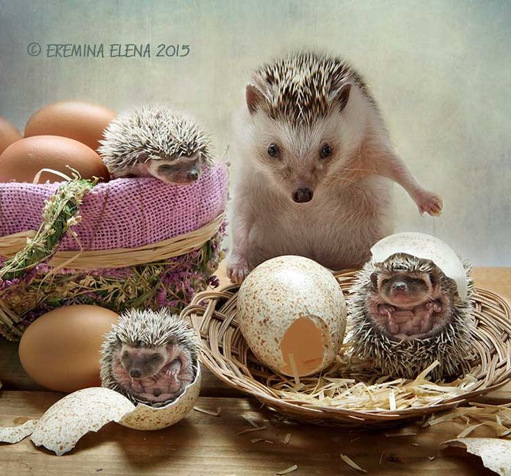 Birthday. - Birthday. I think hedgehogs are born that way. Another way it is hard to imagine.