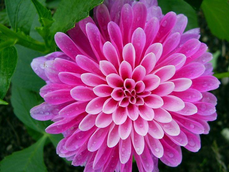 wowPhotos, Beautiful Flower, Pink Flower, Flower Pictures, God Is, Dahlias, Daisies, Nature Design, Purple Flower