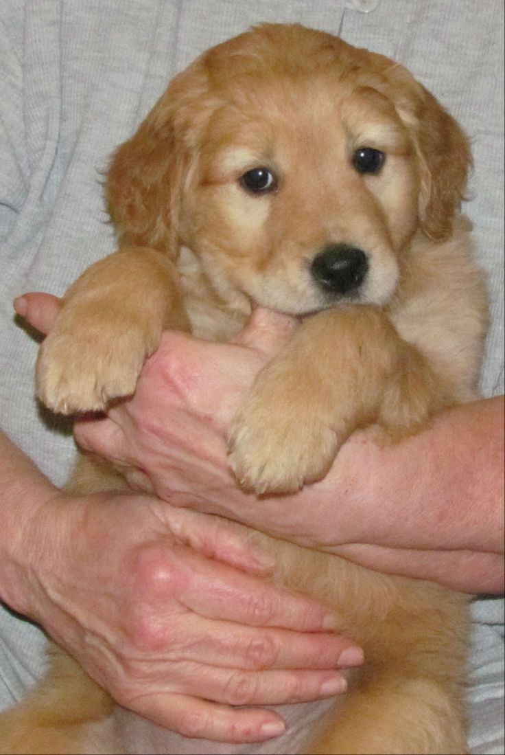 Miniature Golden Retriever, 7 weeks old | Petite Golden ...