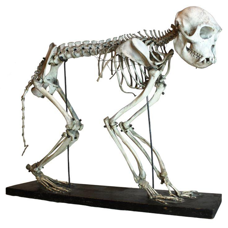 1stdibs | Monkey Skeleton  sc 1 st  Pinterest & 25 best Skeleton images on Pinterest | Skeleton Animal anatomy ... 25forcollege.com