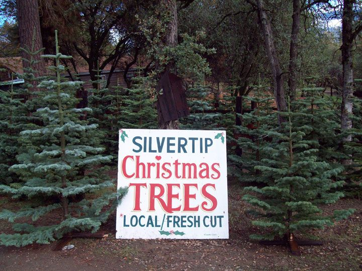 silvertip christmas tree....my dream tree. But only grows in N Cali/S Oregon. & only if I were rich!
