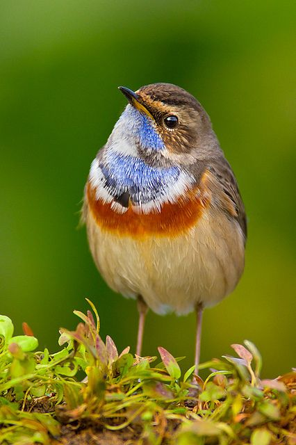 Blue Throat (Luscinia svecica) The bluethroat is a small passerine bird that was formerly classed as a member of the thrush family Turdidae, but is now more generally considered to be an Old World flycatcher, Muscicapidae.