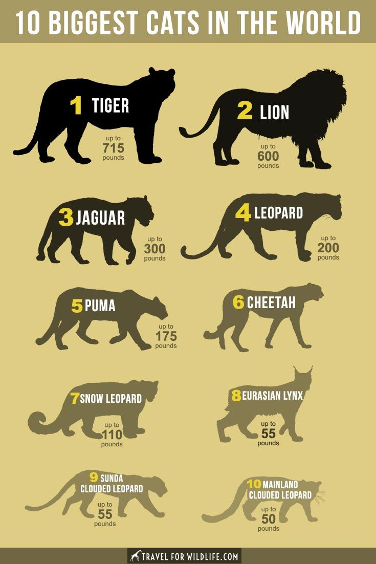 The Biggest Cats In The World Wild Cats Wild Cat Species Types Of Wild Cats