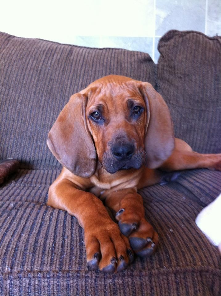 all ears! our redbone coonhound.