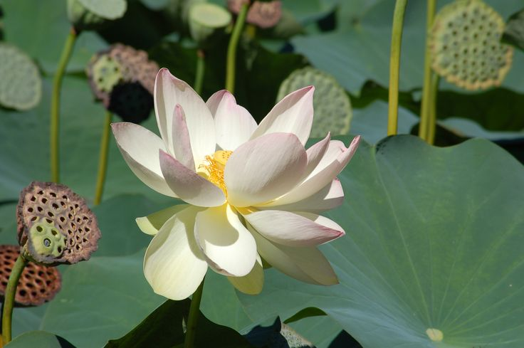 These huge lotus plants are lovely but too big for small yards. Here are some better choices for small ponds, including unusual pitcher plants and stately papyrus plants: http://landscaping.about.com/od/waterfeaturerockgarden/ss/Water-Garden-Plants-Best-Choices-for-Small-Ponds.htm