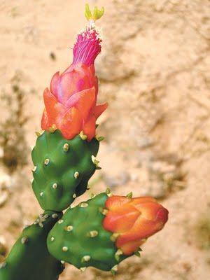 Flor da caatinga brasileira