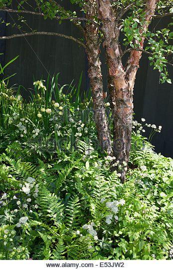 Multi-stem Betula nigra underplanted with woodland perennials, fern, grasses including Astrantia, Dryopteris. - Stock Image