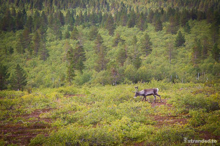 Reindeer at the Urho Kekkonen National Park, Lapland, Finland