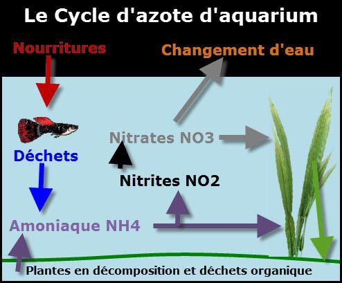 Le cycle de l'azote et les paramètres de l'eau Entièrement lié à la patience, laisser le cycle de l'azote se mettre en place sans introduire de poissons est la toute 1re étape en aquariophilie. C'est un cycle naturel de l'eauqui…