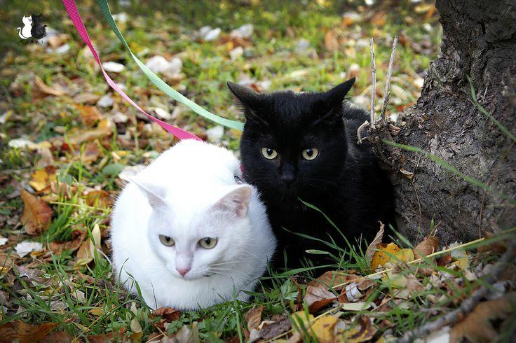#Maniek #mańki #manki #cats #caturday #neko #cat #lovemycats #blackcats #koty #catseverywhere #cute #love  #fluffy #marcelka #whitcats #catstagram #instacats #chat #katzen #katz