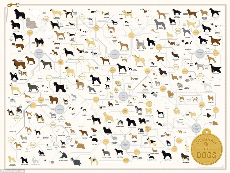 The family tree of DOGS: From tiny chihuahuas to rottweilers - this infographic reveals exactly how every breed is related