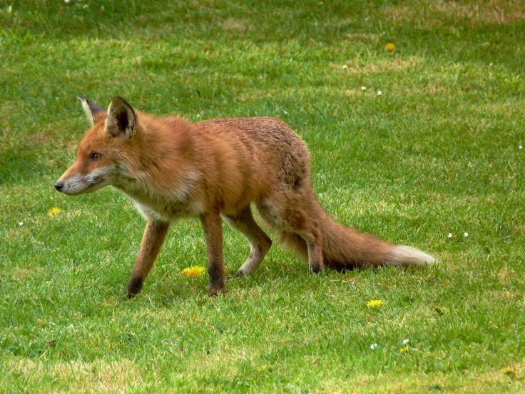 Urban Fox!