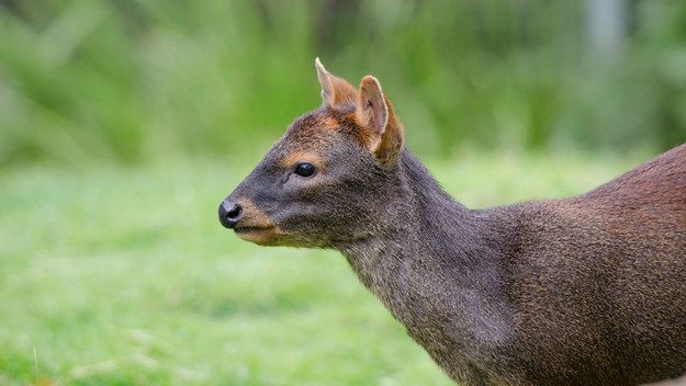 If you like deer, you'll like the pudú. | 11 Endangered Animals You Should Get To Know Now