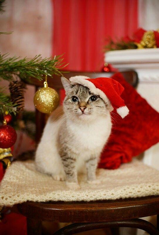 Merry Christmas Kitty