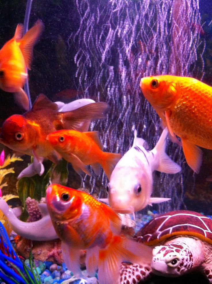 27 best images about pet fish on pinterest sashimi cap for Pet koi fish tank