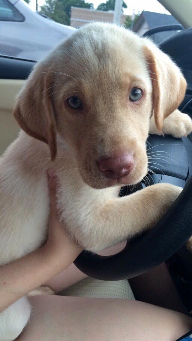 Labrador Retriever Intelligent And Fun Loving Labrador Retriever Lab Puppies Puppies