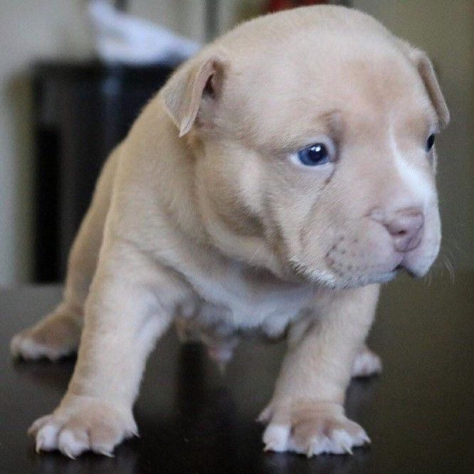 Best Champagne Lilac Chocolate Tri Color American Bully Pocket