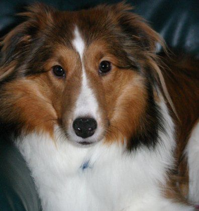 Rough Collie photo | Battle of the Breeds: Border Collie ...
