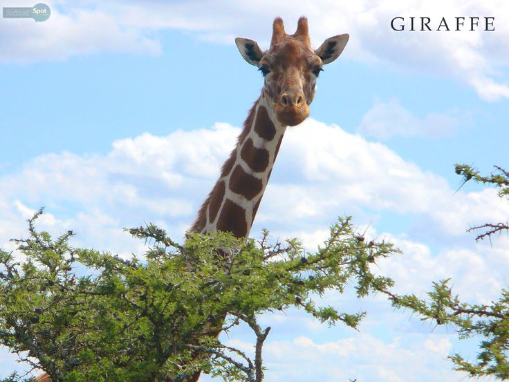 undefined Giraffe Images Wallpapers (41 Wallpapers) | Adorable Wallpapers