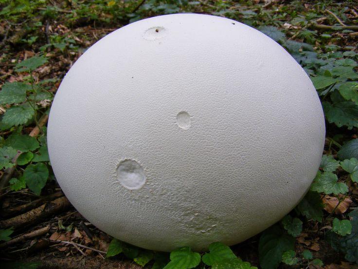 CSODAUTAK: Óriáspöfeteg (Calvatia gigantea v. Langermannia gigantea)
