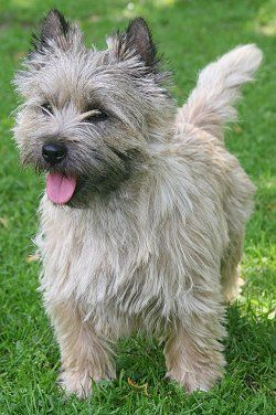 Cairn Terrier, these scruffy little 'Toto-dogs' are determined hunters...