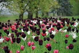 Afbeeldingsresultaat voor bloembollen