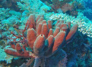 Esponjas. PORÍFEROS. Su cuerpo es gelatinoso o fibroso. Está perforado por  muchos poros. Viven fijas en el fondo del mar en piedras.