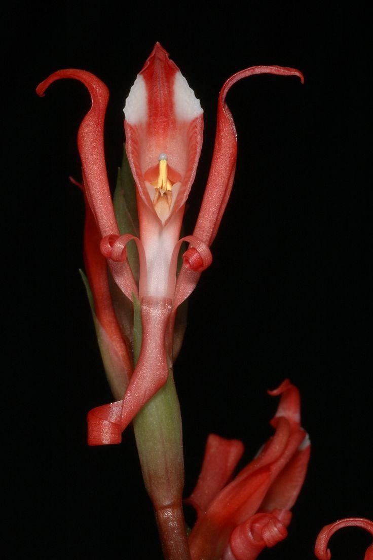 Porphyrostachys pilifera