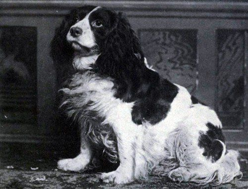 Norfolk Spaniel | Norfolk Spaniels, also known as Shropshire Spaniels, ceased to exist after 1903 when The Kennel Club lumped them in with the newly created English Springer Spaniel breed. The photo shows 'Dash II' a Norfolk Spaniel that took second place at the Westminster Kennel Club Dog Show in 1886.