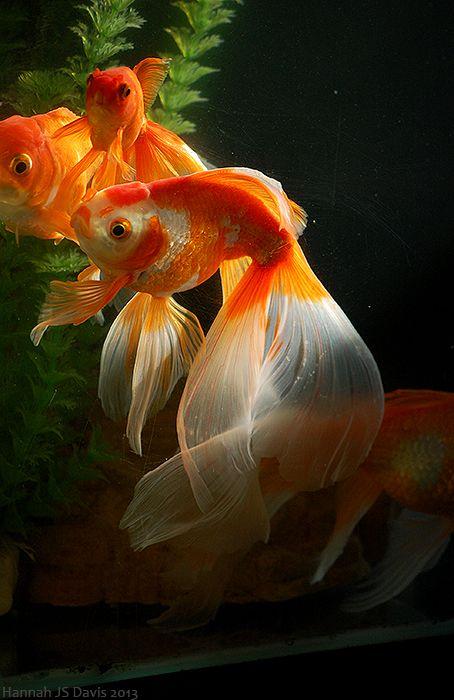 Goldfish .0371-022013. by Ahkahna.deviantart.com on @DeviantArt