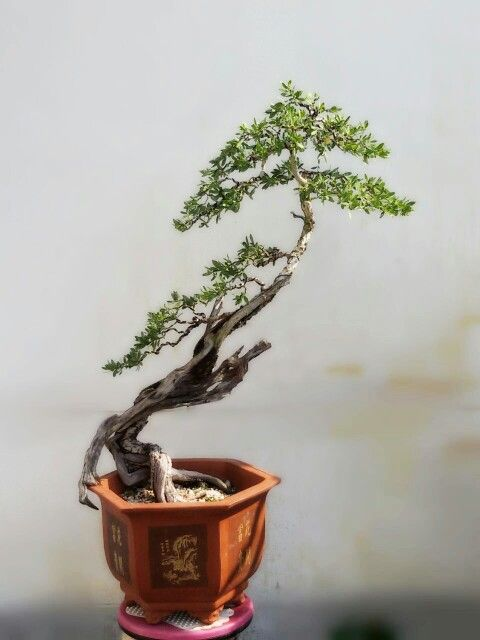 Bonsai pemphis acidula.