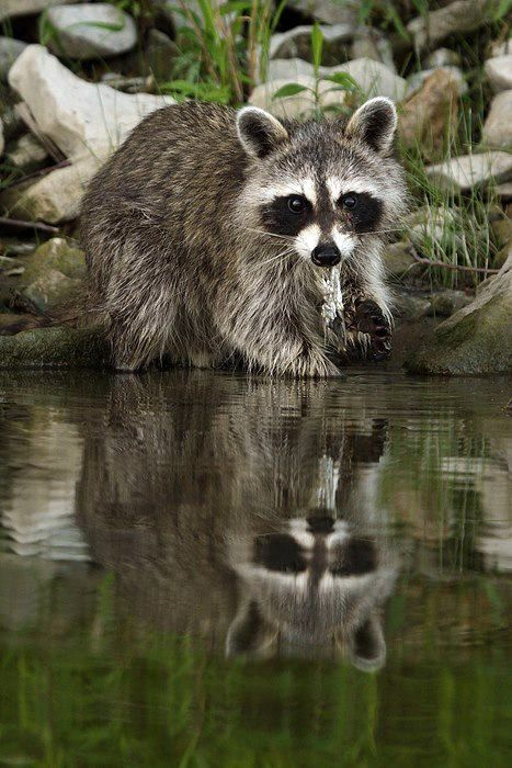 Raccoon at water's edge                                                                                                                                                     More
