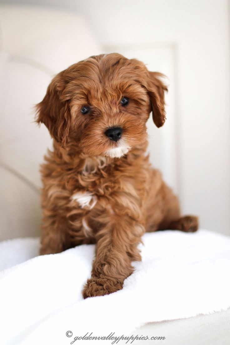 Cavapoo puppies for sale near me puppies near me
