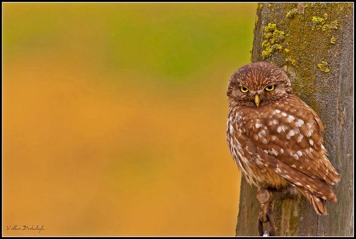 Pretty Angry Man  Owl  Istanbul / Turkey