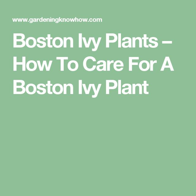 Boston Ivy Plants – How To Care For A Boston Ivy Plant
