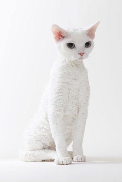 Devon Rex - This breed has short, curly hair and a cute pixie face.
