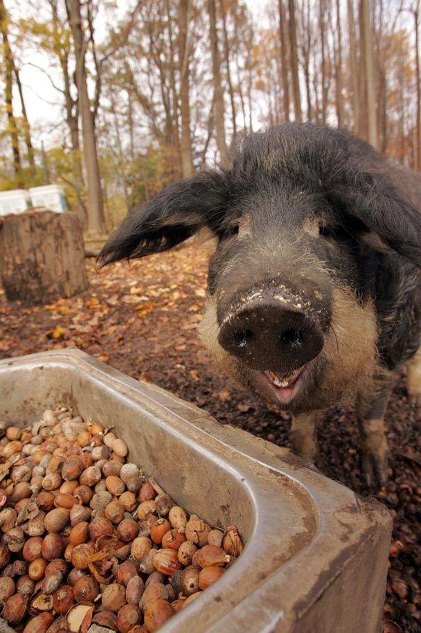 D's dream Mangalitsa heritage breed eating acorns...wooly pigs.