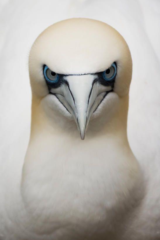 Cara a cara con un alcatraz atlántico (Morus bassanus), el ave marina más grande del Atlántico norte.